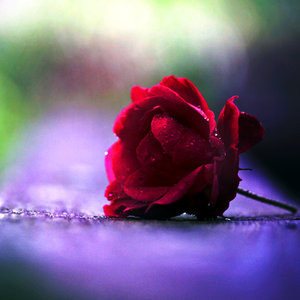 red_rose_by_incolor16-d52joud
